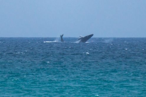 Some humpback whales doing their thing