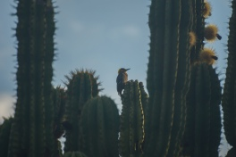 we had no idea that woodpeckers live in cacti!