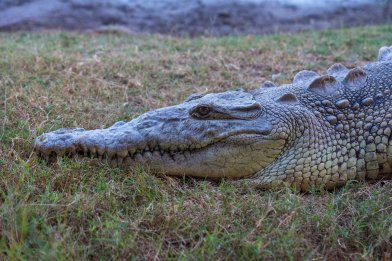 Crocodiles live in the mangroves around San Blas. Did they eat all the local surfers?