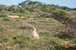 Kangaroo! Kangaroo! Kangaroo!