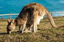 Kangaroo, kangaroo, kangaroo!