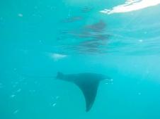 No shark only a majestic manta