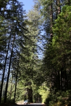 In the Red Woods of Nor Cal