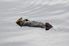 sea otters are the most relaxed animals on the planet
